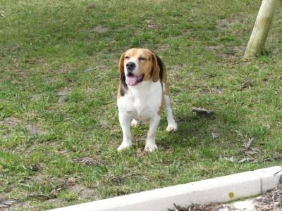 Beagle com LOP e Afixo