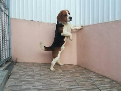 Beagle com LOP