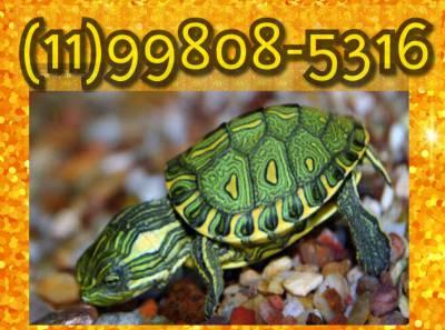 Tartaruga tigre dagua bebê de presente dia dos namorados