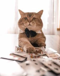 Gato British Shorthair procura namorada