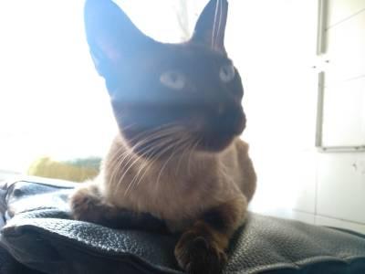 Dou gato siamês para adoção URGENTE