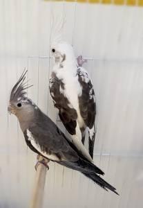 Calopsitas e Agapornis mansa filhotes e casais adultos formados