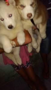 Filhotes Husky siberiano  lindos olhos azuis