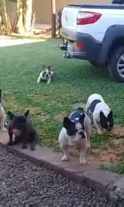 Filhote Bulldog francês