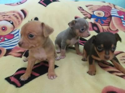 Pinscher miniatura lindos filhotes disponíveis