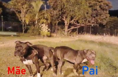 Filhotes de Stafforshire Bull Terrier