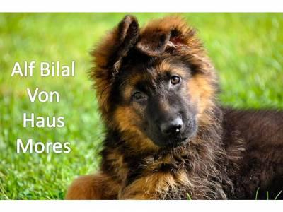 Pastor Alemão Cachorros