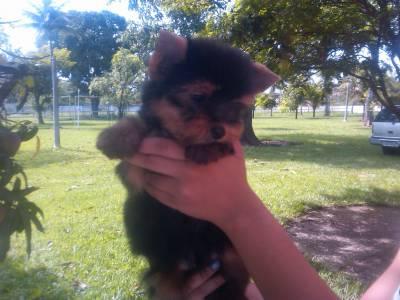 Yorkshire terrier RJ