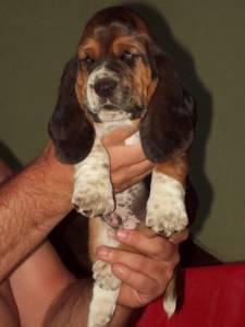 venda basset hound