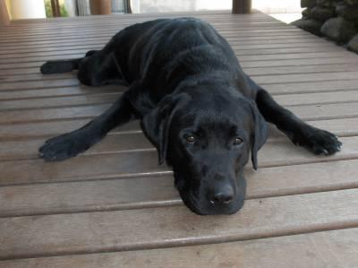 Labrador para cruzar