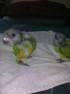 Papagaios do Senegal