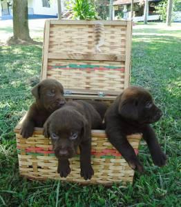 Labradores Amarelos e Pretos
